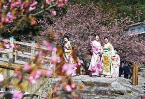 河津桜が見ごろを迎えた川岸を、着物を着て散策する女性たち=唐津市相知町