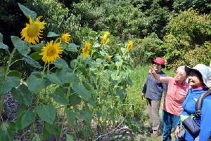 花を咲かせた「はるかのひまわり」を眺める登山客ら=佐賀市の金立教育キャンプ場