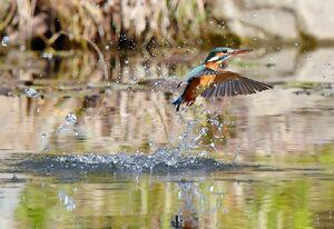 水しぶきを上げながら池で餌を狙うカワセミ=佐賀市の金立公園