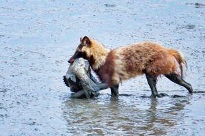 飯田豊一さんが撮影した、魚をくわえて干潟を歩くタヌキ=佐賀市東与賀