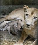 11年ぶりライオン誕生、秋田