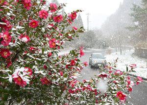 道沿いに咲くサザンカに降り積もる雪=5日午後、唐津市厳木町天川