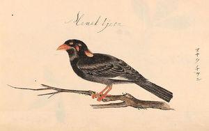 「マナクチヲン」と記された九官鳥(「彩色ジャワ植物図譜」より、監修・山崎剛史山階鳥類研究所自然誌研究室長)