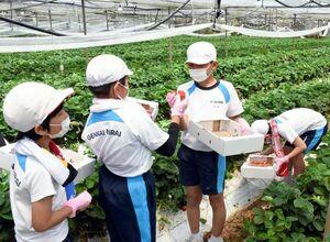 イチゴ狩りを体験する玄海みらい学園の6年生たち=玄海町