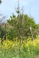 馬渡小中学校近くに自生するゲンコウ=唐津市の馬渡島
