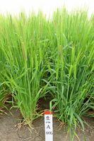 農研機構が育成した「くすもち二条」。九州で栽培しやすいよう開発された(農研機構九州沖縄農業研究センター提供)