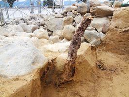 本丸南側の石垣の解体時に見つかった直径9センチ、長さ約1メートルのつる植物の根=唐津城(提供写真)