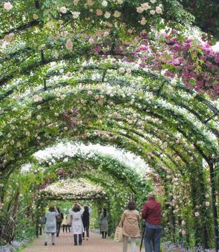 横浜で2千株のバラ、見頃に