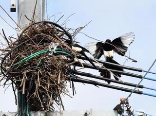 自然・命編 第7回 カササギ 愛される県鳥にも時代の波