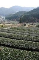 模様を描くように山沿いに広がる嬉野茶の茶畑。幕末の天保年間には、栽培地域が嬉野全体に広がったといわれている=嬉野市嬉野町