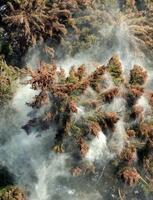 煙のように舞い上がるスギの花粉=2005年、神奈川県内