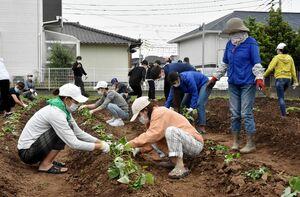 サツマイモの苗を植える学生たち=鳥栖市