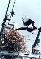 電柱の上に巣づくりをするカササギのつがい=平成7年3月撮影、佐賀市