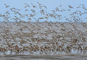 東よか干潟の上を旋回するハマシギなど渡り鳥の群れ=11日午前、佐賀市東与賀町