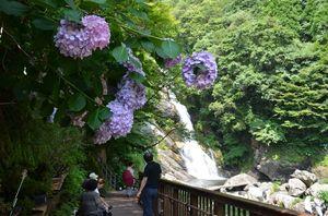 見ごろを迎えているアジサイと滝の「涼」を楽しむ観光客=唐津市相知町の見帰りの滝