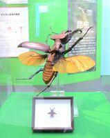 ミヤマクワガタの模型。手前は佐賀県立宇宙科学館の近くで採集した本物の標本
