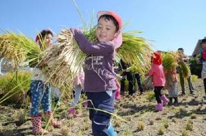 佐賀農業高生や佐賀女子短期大の学生が刈った稲穂をいっぱい担いで運ぶ園児=白石町の佐賀農業高校