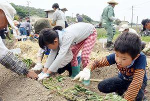 ダッシュ村の開村式でサツマイモの苗を植える子どもたち