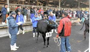 出品された肉牛・子牛の毛並みや発育具合を入念にチェックして採点する審査員=多久市のJAさが畜産センター