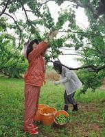 順調に生育した大梅「白加賀」。収穫が最盛期を迎えている=小城市小城町