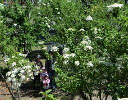 鑑真和上嘉瀬津上陸の碑のそばで見ごろを迎えた瓊花=佐賀市の県立森林公園