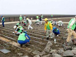 シチメンソウの移植に励むボランティア=佐賀市の東与賀海岸シチメンソウヤード