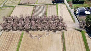 天子社参道の桜並木をイメージした合成画像。右端に境内がある(提供)