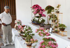 約100鉢の花が咲き誇るさつき盆栽展=佐嘉神社
