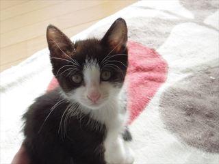 <譲ります>猫 生後2カ月の雑種(黒白・雄1、黒白キジ・雌1)