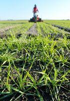 10センチほどに育ち、畑を爽やかな緑色に染める麦。踏むことで分けつを促し、根付きがよくなるといわれる=9日午後4時半ごろ、佐賀市大和町