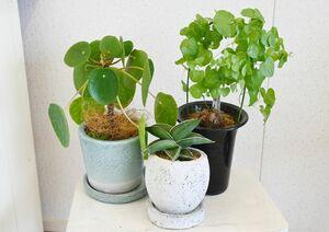 珍しいものが好きな人にはこちらがおすすめ。「亀甲竜(きっこうりゅう)」(右)は秋から春にかけてハート形の葉が茂り、「サンセベリアサムライドワーフ」(中央)はゆっくり成長して同じ形を長く楽しめます。丸い葉が愛らしい「ピレアペペロミオイデス」は、一気に部屋をおしゃれにします。