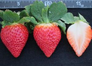 【佐賀i9号】「さがほのか」に比べて収量が多く、果皮は濃い赤色で果肉まで赤いのが特長