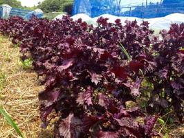 雨の合間に茂った赤シソを収穫