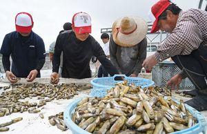 収穫したアゲマキを大きさで選別する漁業者ら=鹿島市浜町