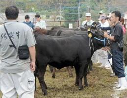 牛の審査を見守る関係者=唐津市鎮西町の鎮西地区肉用牛集出荷施設