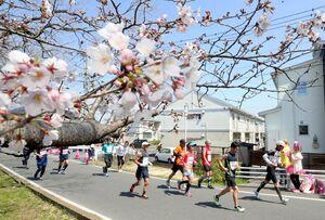大会期間中はコース沿いで早咲きの桜を楽しめる