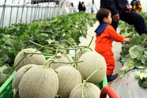 収穫が始まった「夕張メロン」=25日午前、北海道夕張市