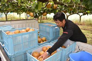 台風9号の接近に備えナシの収穫を急ぐ農家=1日午後、伊万里市南波多町