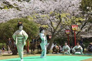 散り始めの桜の下で、あでやかな舞を披露する芸妓衆=小城市の小城公園
