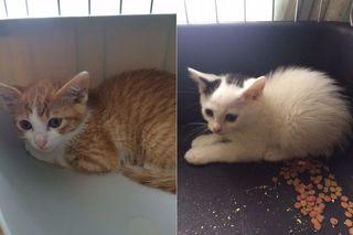<譲ります>猫 生後約2カ月の雑種(茶トラ・雄1、白黒・雄1)