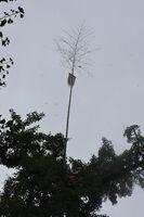 高さ30メートルの大イチョウの上に設置された神旗=みやき町の綾部八幡神社