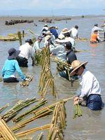 NPO法人などが実施したカキの稚貝を付着させるための支柱立て。環境改善に向けてカキ礁の造成が進められている=昨年7月、有明海