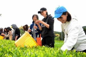 手作業での茶摘みを楽しむ佐賀女子短期大1年の学生たち=嬉野市の茶業試験場