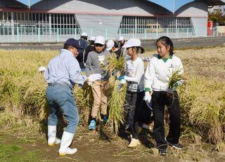 上峰小で「稲文字」収穫 5年生96人、秋を体感