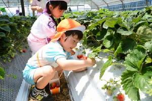 見つけたイチゴをもぎ取る園児=唐津市柏崎の畑
