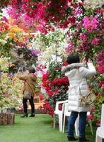 鮮やかに咲くブーゲンビリアを写真に収める来場者=唐津市横田下のブーゲンの森