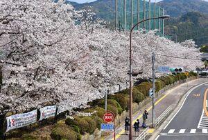 多久高校(多久市) 国道203号沿いで、ひときわ目を引く桜並木。通勤や通学する歩行者やドライバーを楽しませている