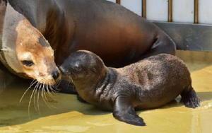 福岡市の「マリンワールド海の中道」が名前を募集している6月に生まれた雌のカリフォルニアアシカ