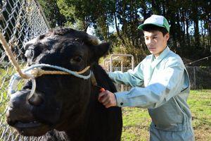 牛をブラッシングする田中優人さん=唐津市神田の内田山実習地の牛舎