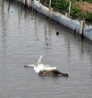 テグスと呼ばれる糸に絡まり死んだクロツラヘラサギ=白石町福富(提供写真)